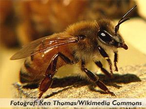 Arılar elektrikle mi haberleşiyorlar?