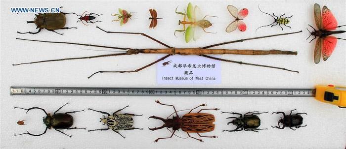 Dünyanın En Uzun Böceği Çin'de Keşfedildi