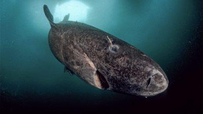 Grönland'da yaşayan bir köpekbalığı uzun yaşama rekorunu alt üst etti