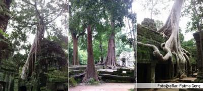 Biyokültüre örnek: Kamboçya'nın Angkor tapınağı ve dev ağaçlar