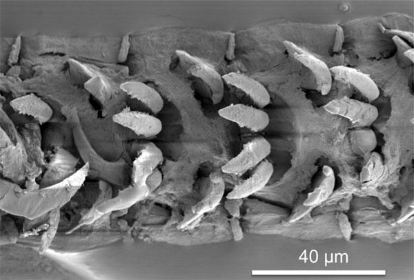 Deniz salyangozu dişlerinin mikroskopik görüntüsü (Portsmouth Üniversitesi)