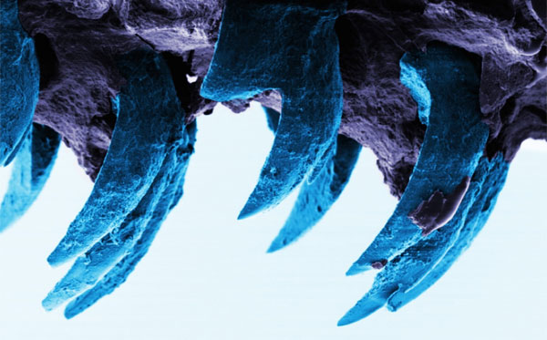 Deniz salyangozu dişinin mikroskopik görüntüsü (Portsmouth Üniversitesi).