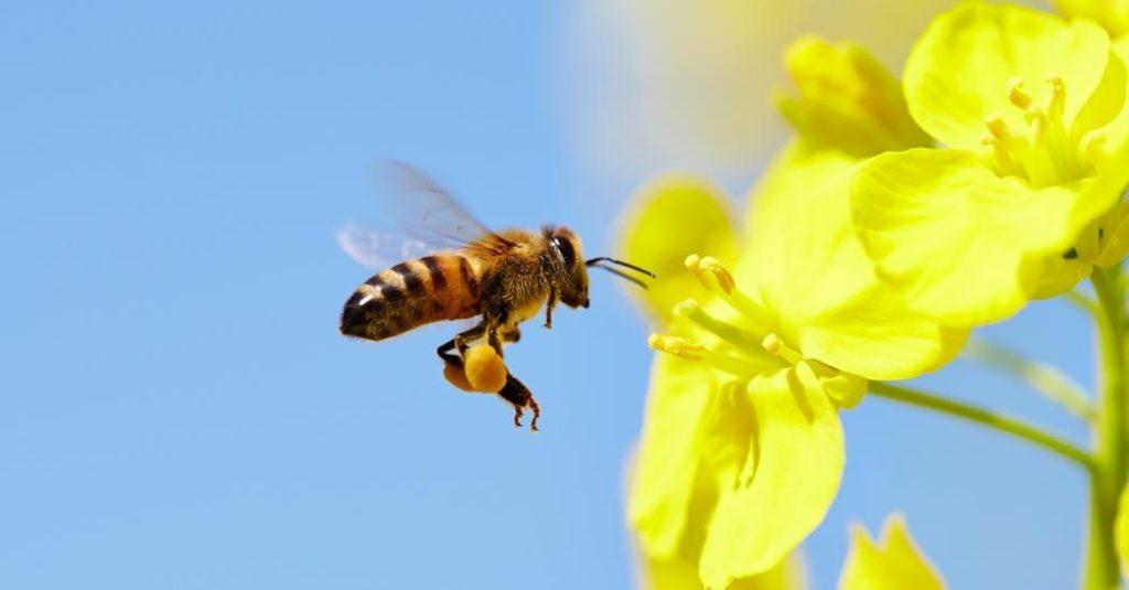 Arıların gizemli kayboluşu yiyecek üretimini tehdit ediyor