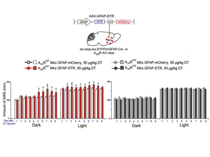 Nucleus accumbens'ın uyku oluşturucu fonksiyonun moleküler temeli aydınlatıldı